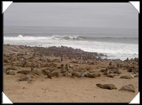 Les otaries (sea lion) du Cape Cross en Namibie