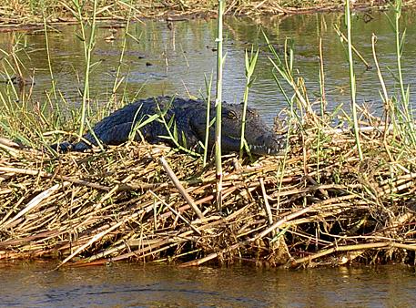 crocodile okavango botswana