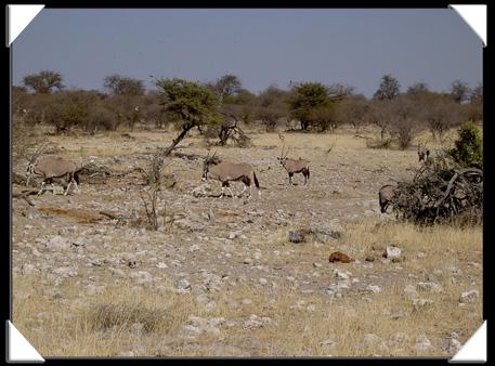 troupeau oryx