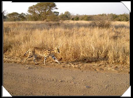 serval au kruger