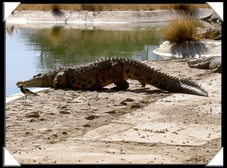 crocodile namibie