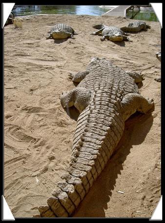 combat de crocodilese