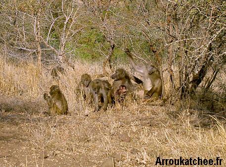 Un groupe de Babouins au Kruger