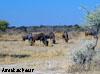 gnou namibie