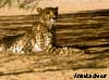 guepard namibie