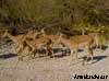 impala namibie