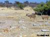 kudu namibie