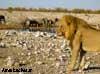lion namibie