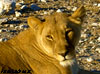 lioness namibia