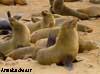 fur seal namibia