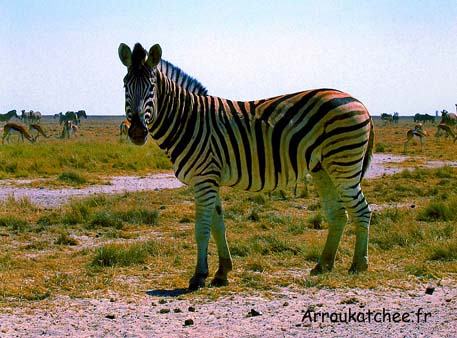 zebre a etosha