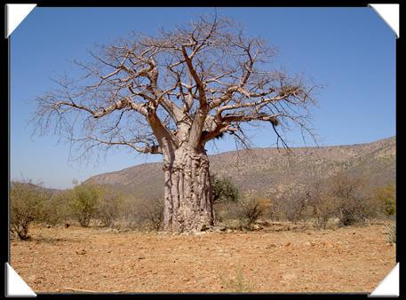 arbre centenaire