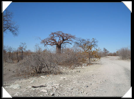 photo planet baobab botswana