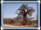 arbre botswana