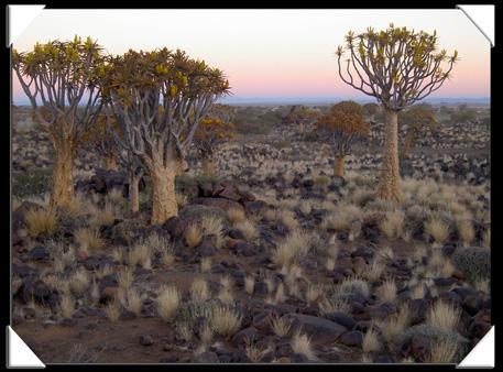 kokerboom au crepuscule