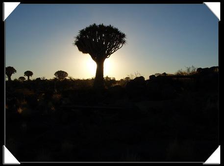 arbre a carquois